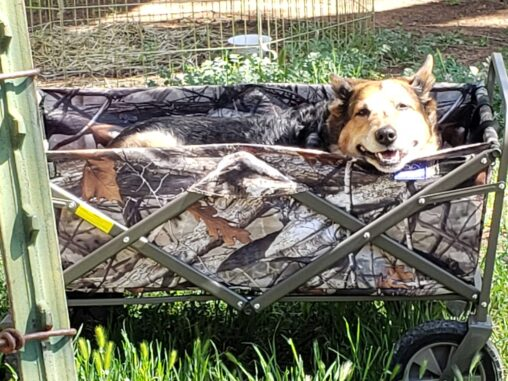 Image of an Australian Cattle Dog in a wagon.