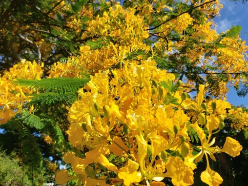 Vibrant yellow flowers in bright sunshine. Photo taken in Maui.